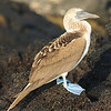 "Galapagos Islands/ Ecuador (Jun 09) : Normally, I try to keep the size of my galleries to 2-3 screens of photos max (45 or less).  After 6 days in the Galapagos, it was clear that was just not going to happen.  Here is a fairly large set of my favorite photos from the trip.  The best ones are on the first page.  After that, they are all shots that I felt ""made the cut""... These are 100 of the 1000+ that I took during the trip.  Enjoy."
